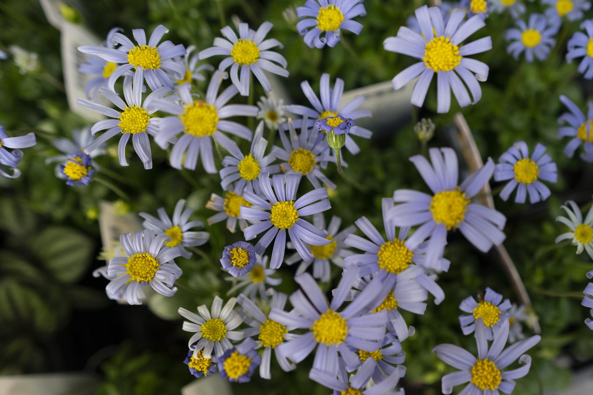 ブルーデージーの花言葉と誕生花