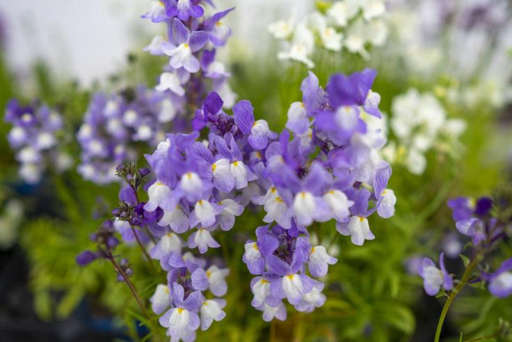 法然寺の花