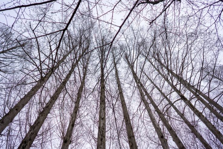 仏生山公園のメタセコイア