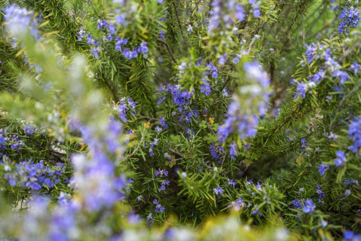 仏生山公園のローズマリー