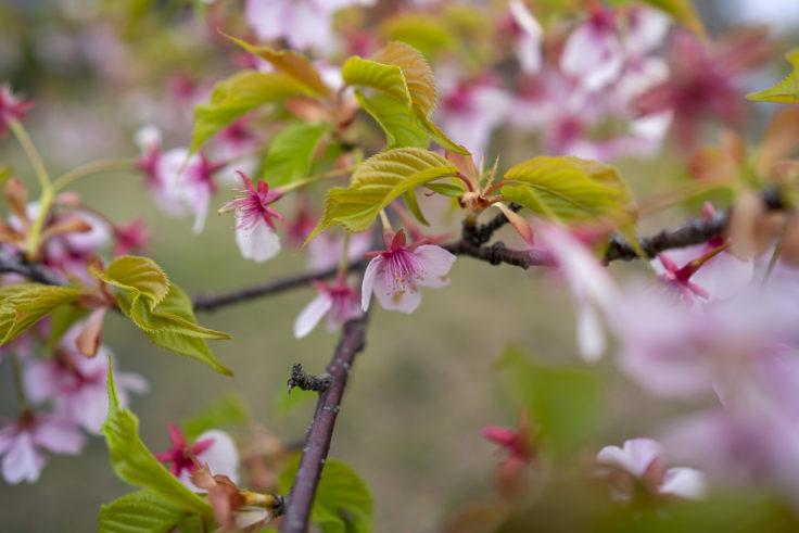 仏生山公園の河津桜