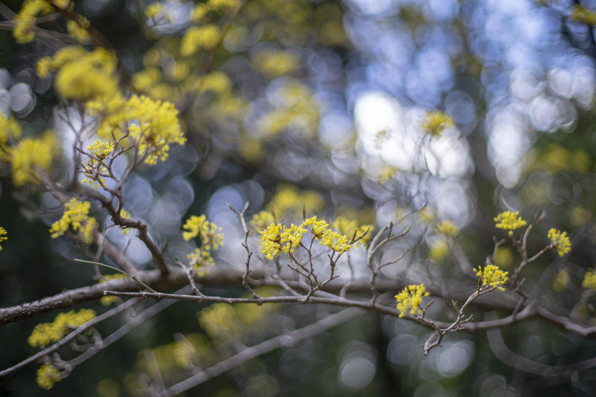 サンシュユの花言葉と誕生花