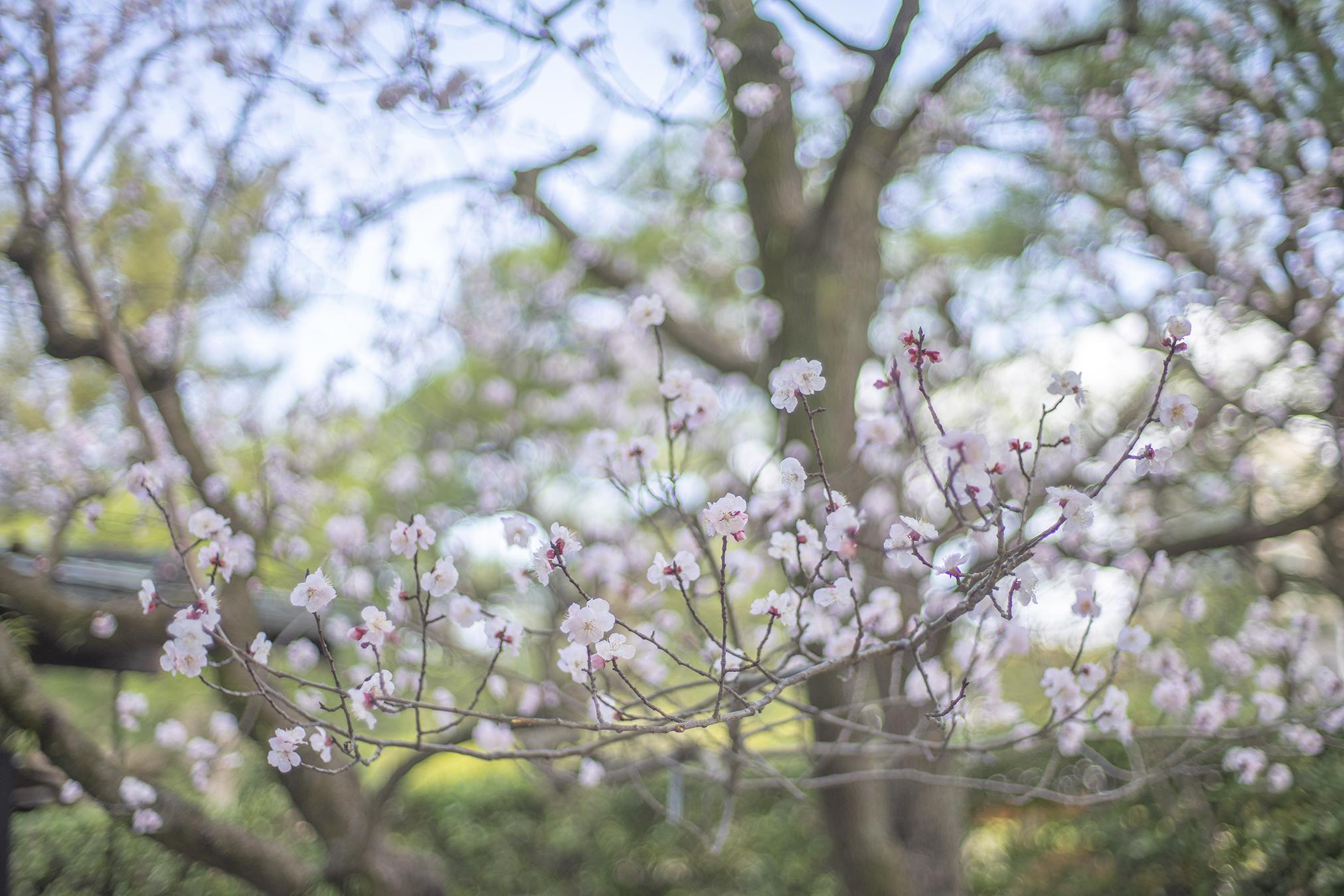 アンズの花言葉と誕生花