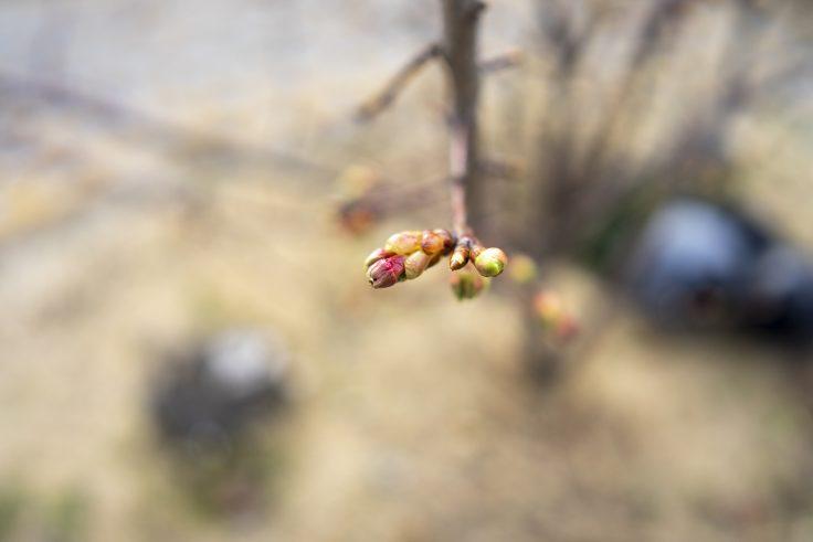 安戸池の桜