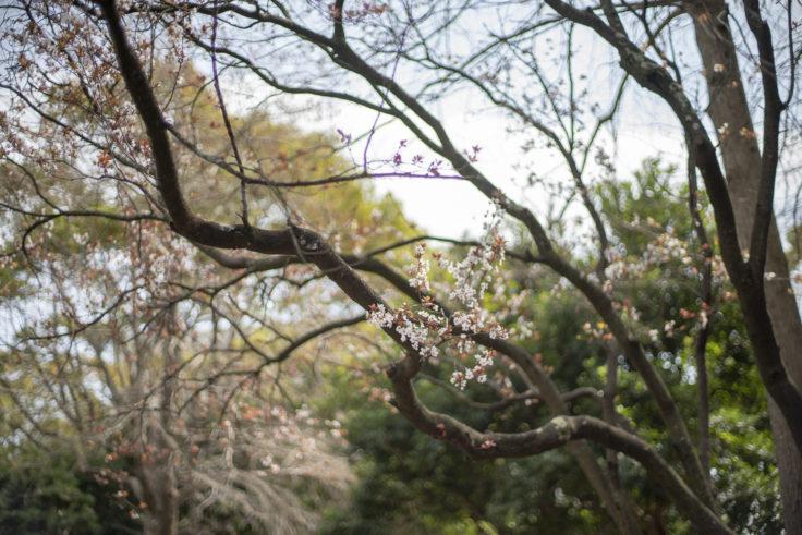 徳島中央公園のアカバスモモ