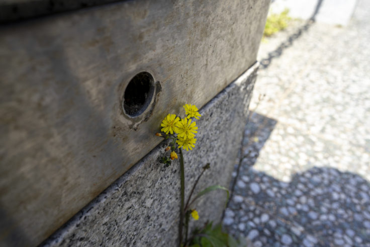 コオニタビラコ(ホトケノザ)