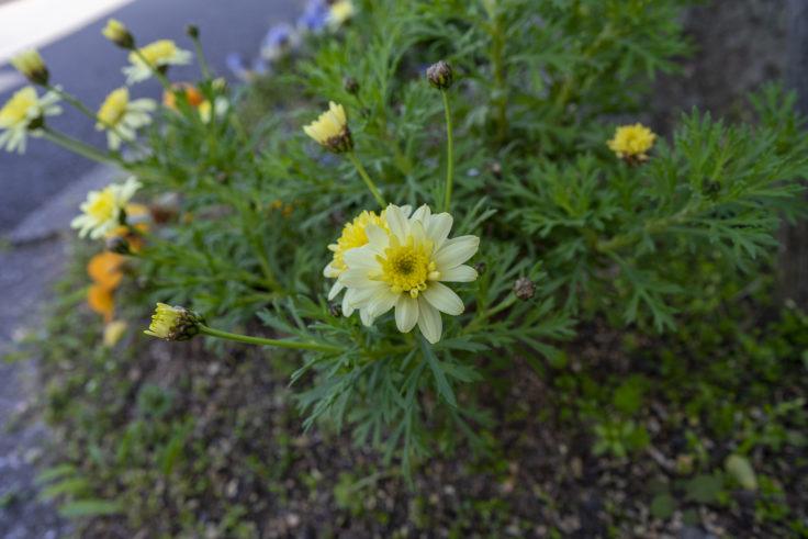 八重咲のマーガレット