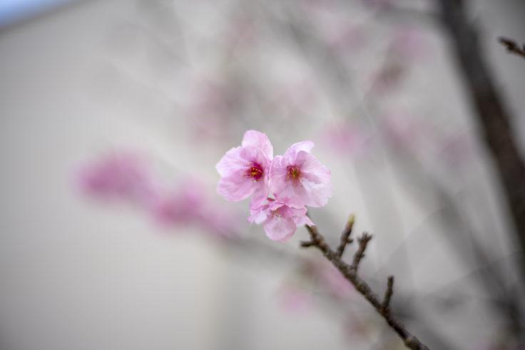 徳島大学の桜