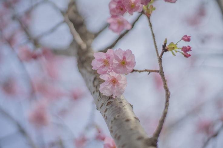 徳島大学のヨウコウという桜