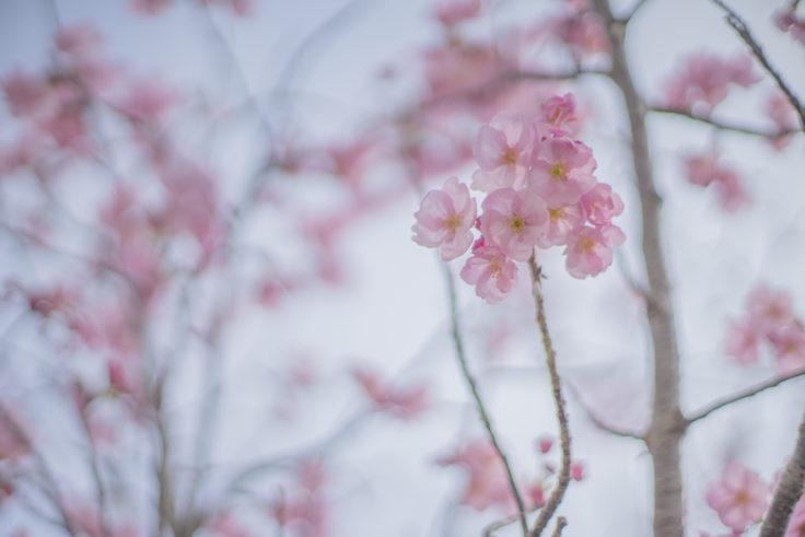 徳島大学のヨウコウという桜2