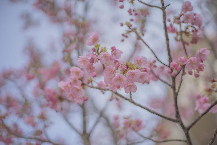徳島大学のヨウコウという桜3