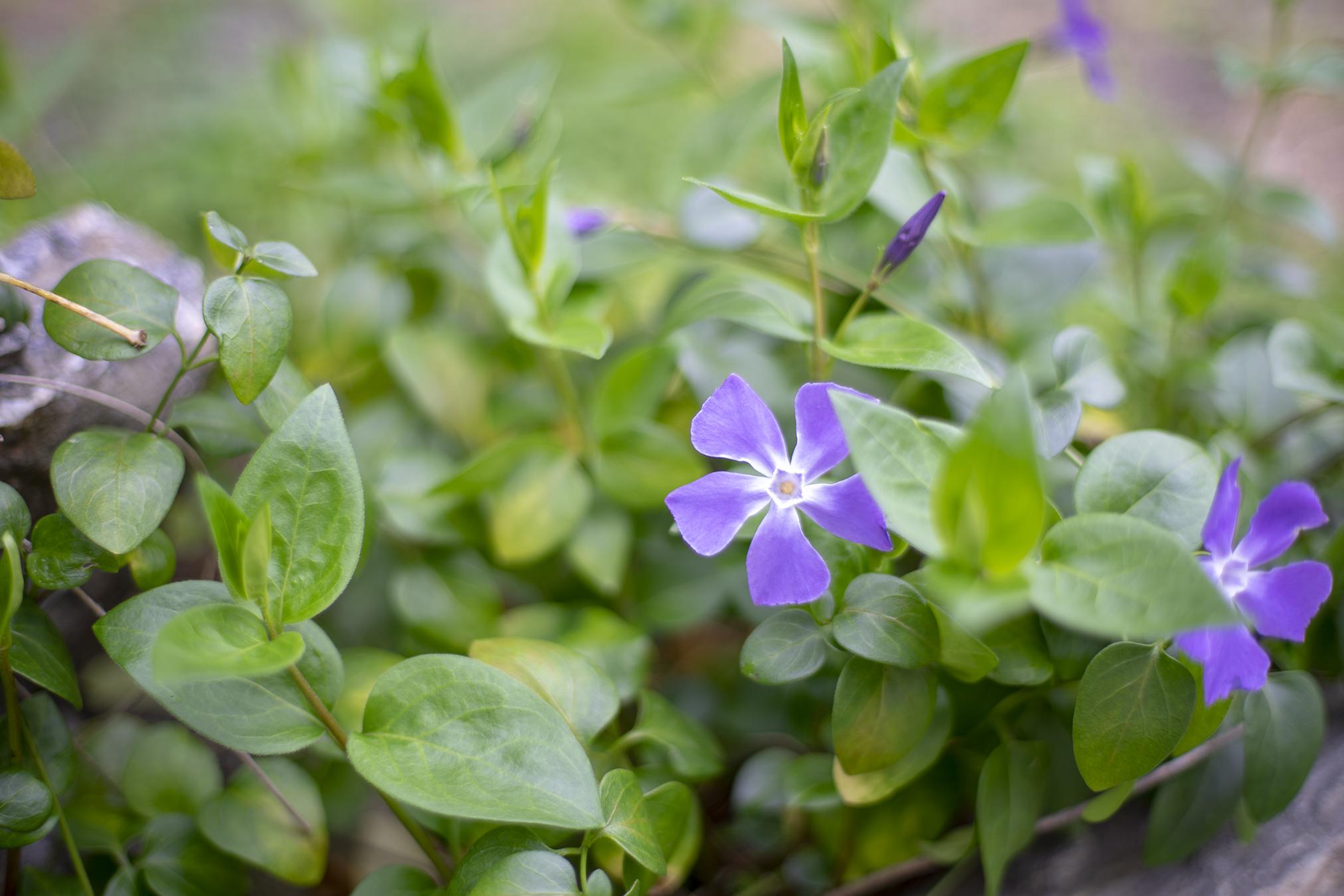 ツルニチニチソウの花言葉と誕生花