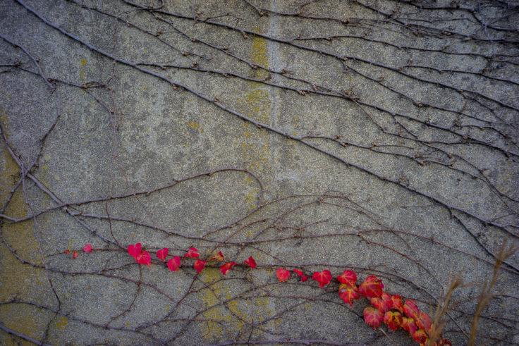廃墟の蔦紅葉4