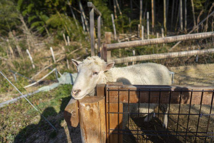 しろとり動物園のヤギ2