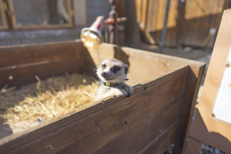 しろとり動物園のミーアキャット