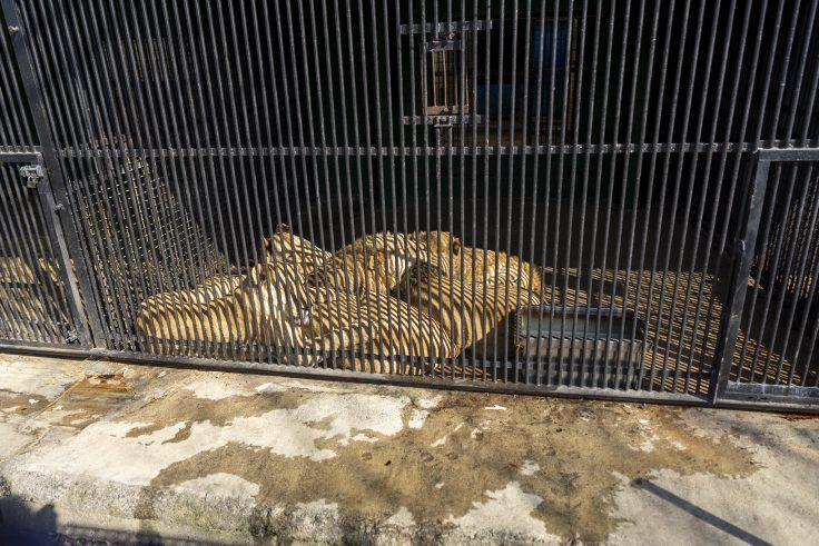 しろとり動物園のライオン3