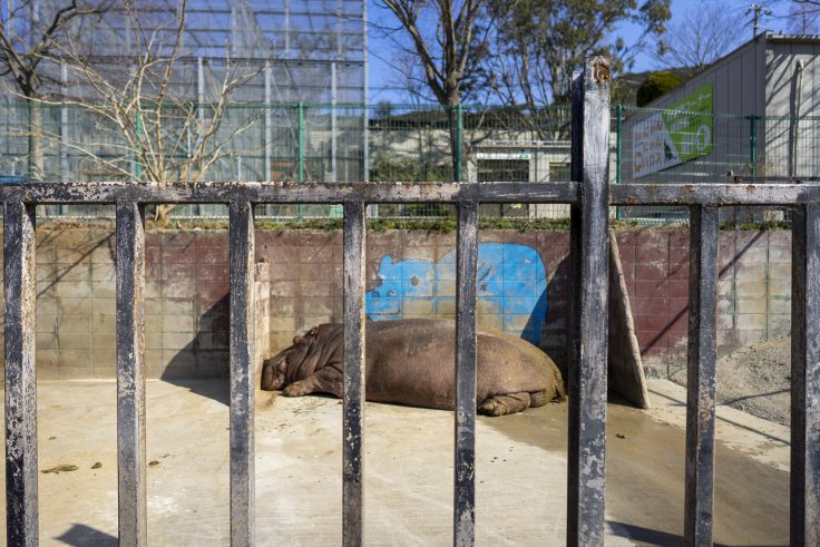 しろとり動物園のカバ