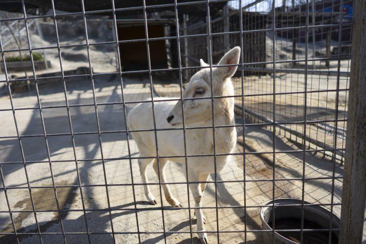 しろとり動物園の白いシカ