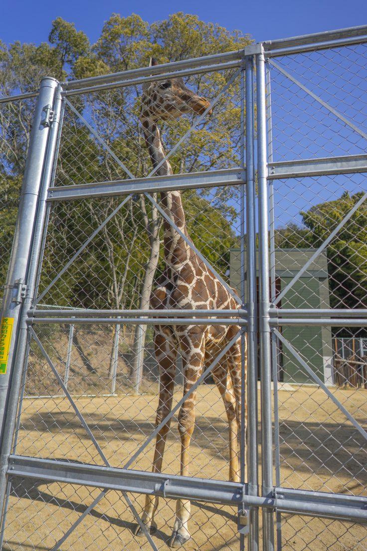 しろとり動物園のキリン2