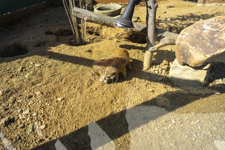 しろとり動物園のミーアキャットの巣