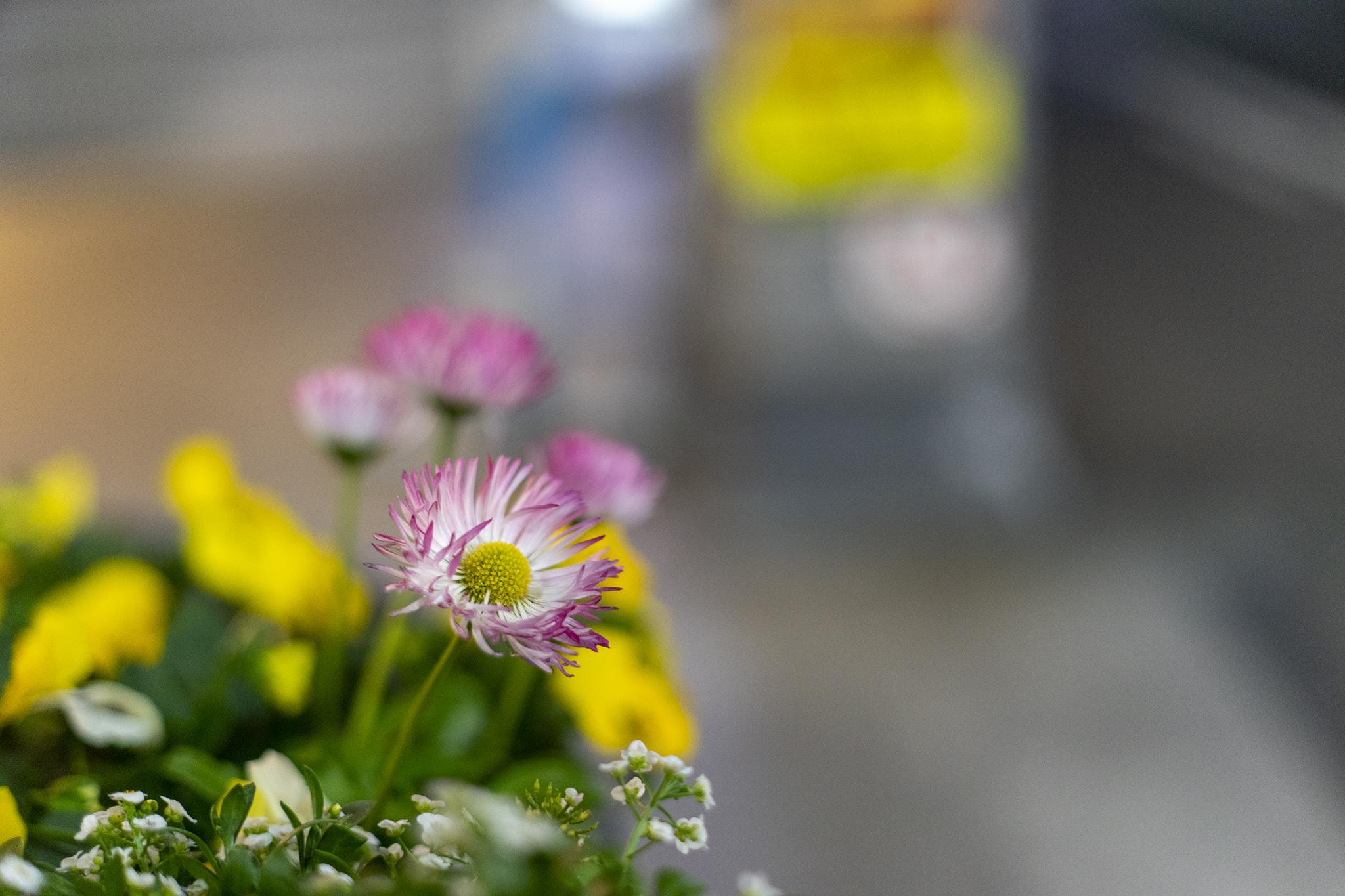 デージーの花言葉と誕生花