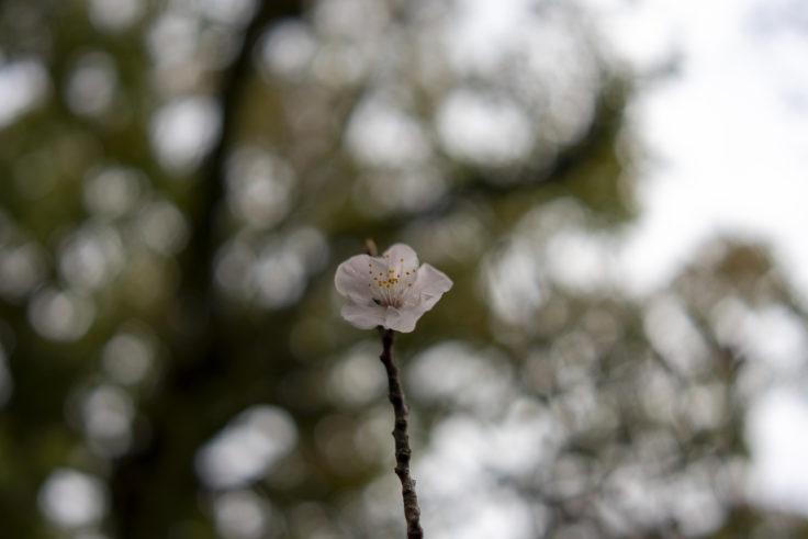栗林公園のアンズの花