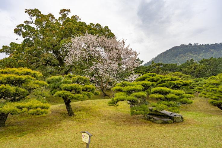 栗林公園の桜