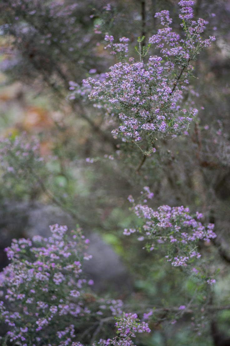 咲き始めのジャノメエリカ
