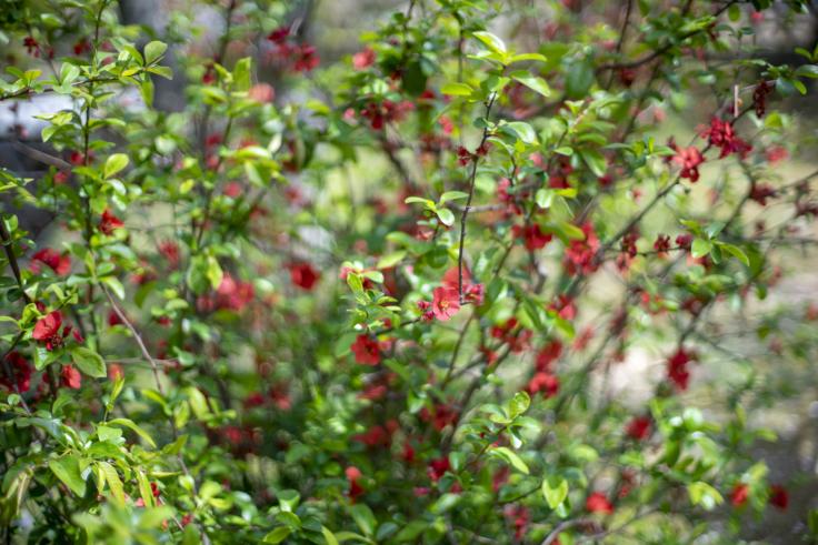 栗林公園のボケの花