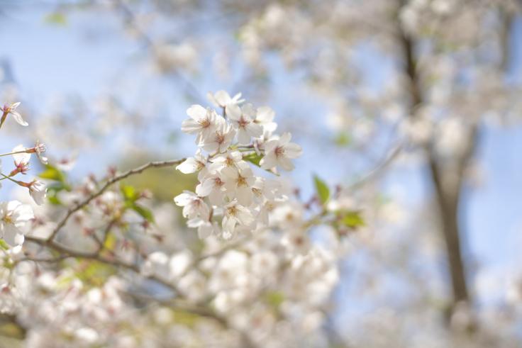 栗林公園の桜アップ
