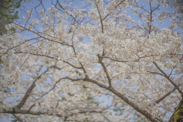 栗林公園の桜アップ3