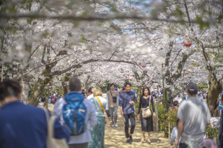 栗林公園桜のトンネル