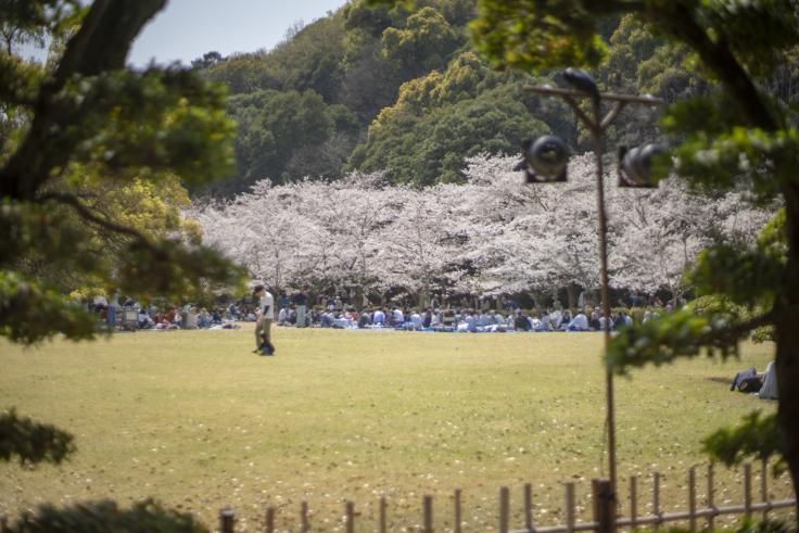 栗林公園芝生広場の桜