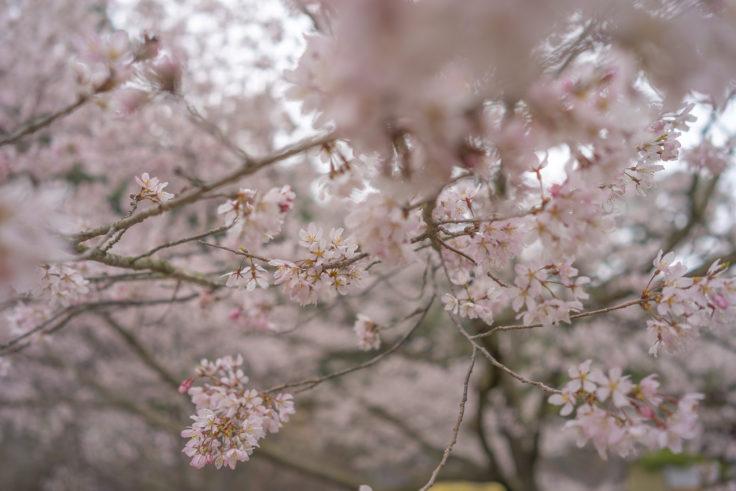 西湖の桜3