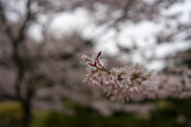 西湖の桜4