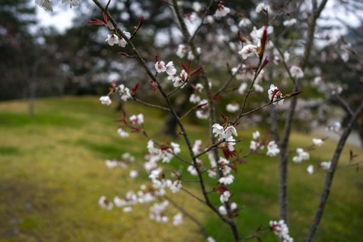 栗林公園の濡れた桜