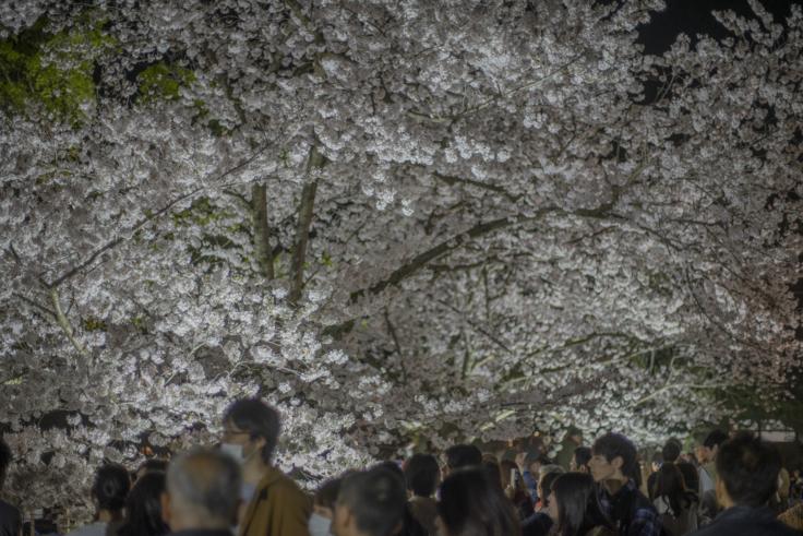 栗林公園桜の標本木ライトアップ