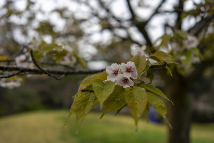 栗林公園の濡れた桜2