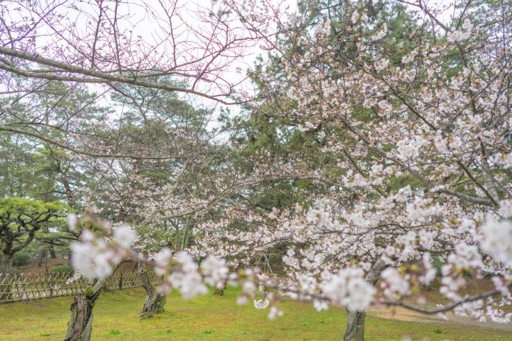 栗林公園の桜全景