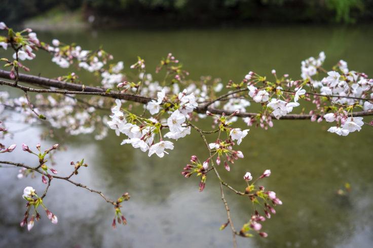 栗林公園に咲く桜2