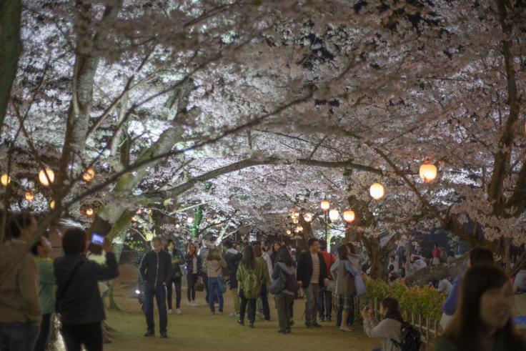 栗林公園芝生広場の桜のトンネル夜桜
