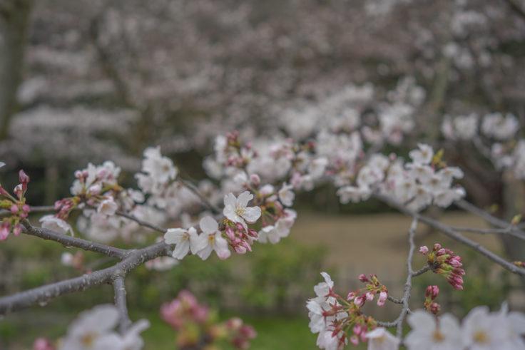 栗林公園桜のトンネル2