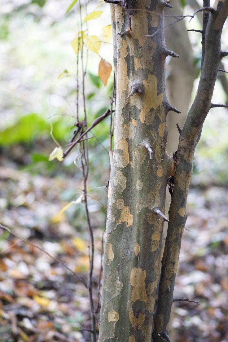 カリンの木