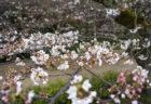 栗林公園桜のトンネル3