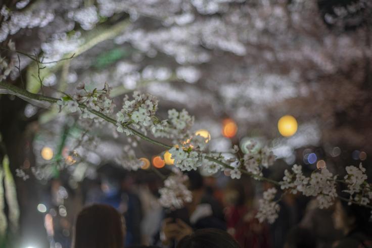 栗林公園芝生広場の夜桜2