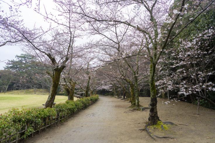 栗林公園桜のトンネル4