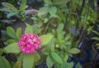 半田山植物園のサンタンカ