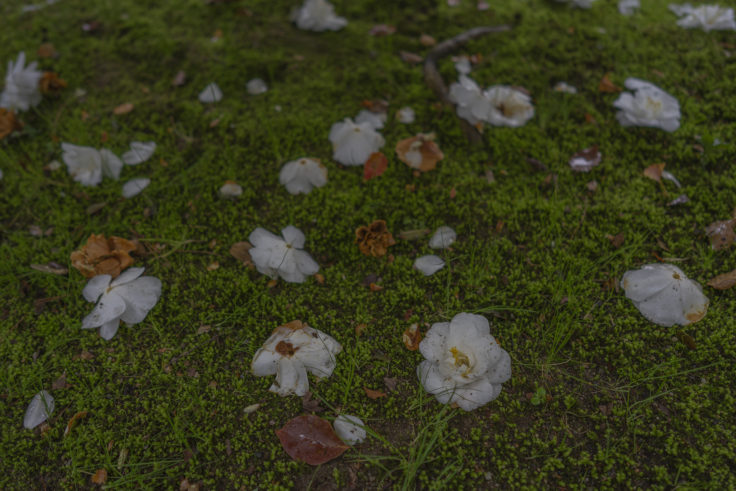 栗林公園桜のツバキ