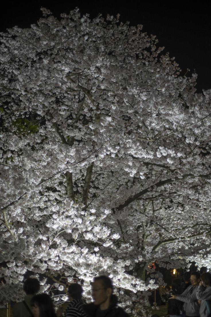 栗林公園の標本木夜桜