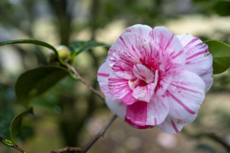 栗林公園桜の斑入りツバキ